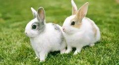 兔子常见疾病及预防方法