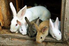 春季肉兔繁殖的黄金季节